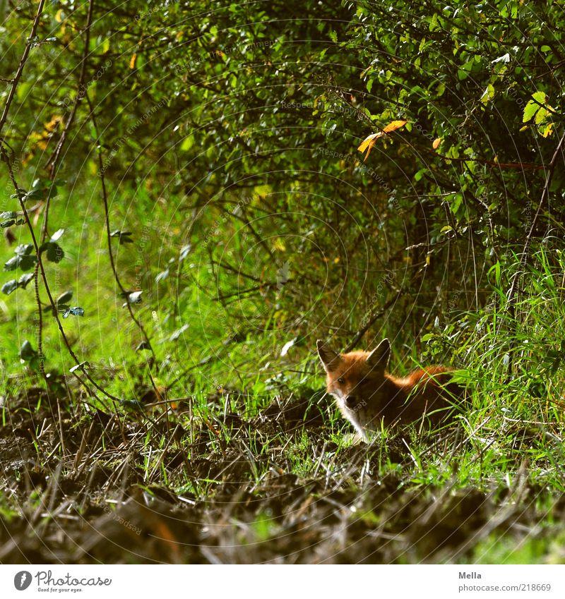 Mein Name ist Fuchs. Reineke Fuchs. Natur grün Pflanze Tier Gras Freiheit Feld Umwelt frei Sträucher Tiergesicht beobachten natürlich Neugier Wildtier niedlich