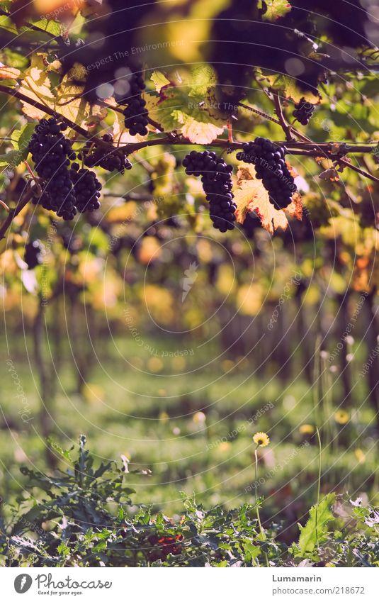 Lesestück Lebensmittel Frucht Ernährung Umwelt Herbst Pflanze Nutzpflanze Feld frisch glänzend gut schön lecker natürlich positiv rund saftig süß wild weich