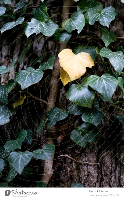 Hedera helix Natur grün Pflanze gelb Tod Umwelt Wetter Wachstum Urelemente vergangen vertrocknet Baumrinde Efeu Ranke Grünpflanze Wildpflanze