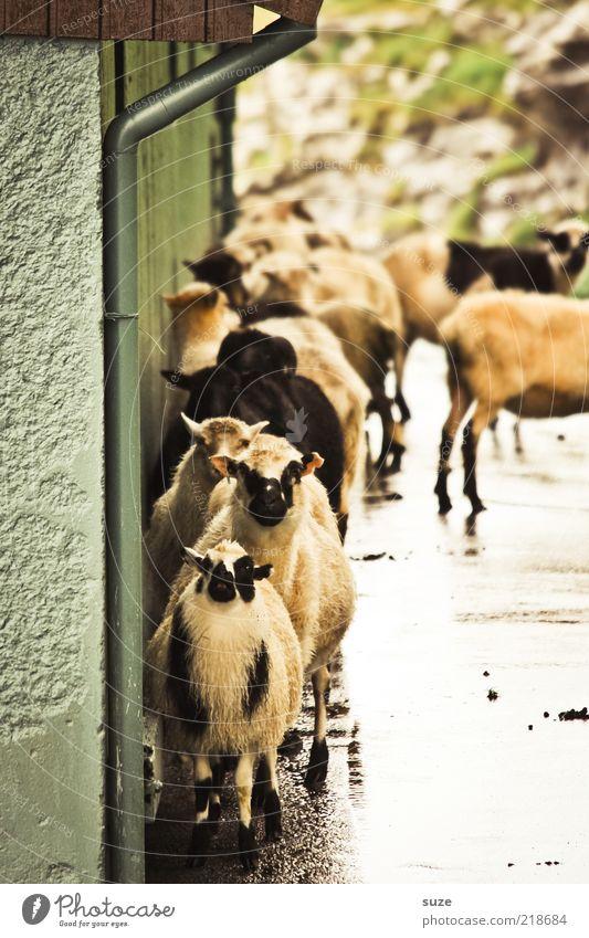 Voll belämmert Umwelt Natur Tier Klima Wetter schlechtes Wetter Haus Mauer Wand Fassade Dachrinne Nutztier Tiergesicht Tiergruppe Herde lustig niedlich wild