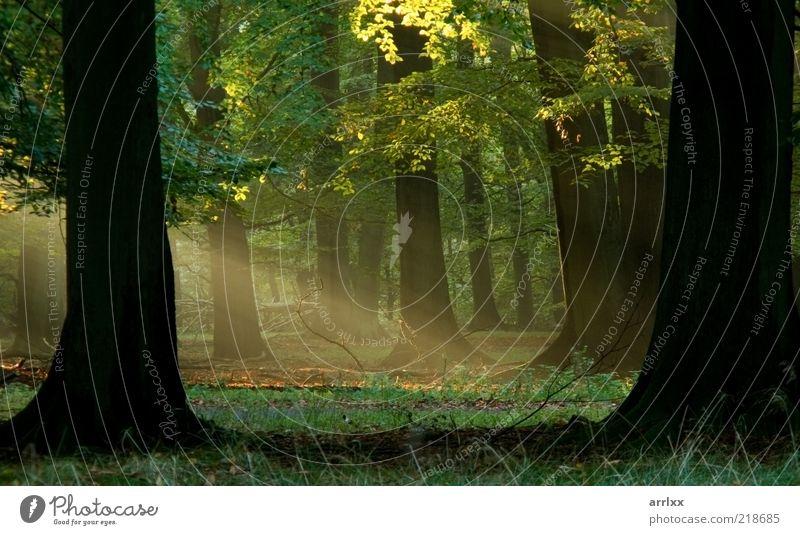 Feenschwanzwald schön Sonne Umwelt Natur Landschaft Pflanze Sonnenlicht Herbst Wetter Schönes Wetter Nebel Baum Blatt Park Wald Urwald Fußgänger Wege & Pfade