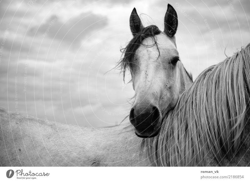 Nackenstütze Tier Pferd 1 dunkel elegant hell Nordirland Weide haarig Mähne Freundschaft Kopf Schwarzweißfoto Wildtier Nüstern Fell Rücken Haare & Frisuren Ohr
