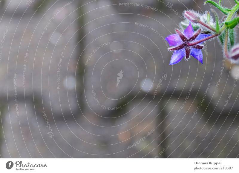blau hängend Natur Pflanze Herbst Blume Blüte Bürgersteig Stein Beton Blühend grau grün violett Farbfoto Gedeckte Farben Außenaufnahme Nahaufnahme Menschenleer
