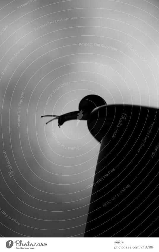 fühler ausstrecken weiß schwarz Tier Gefühle klein Kraft nah außergewöhnlich Gelassenheit Lebensfreude Barriere Schlucht Schnecke Fühler krabbeln Blumentopf