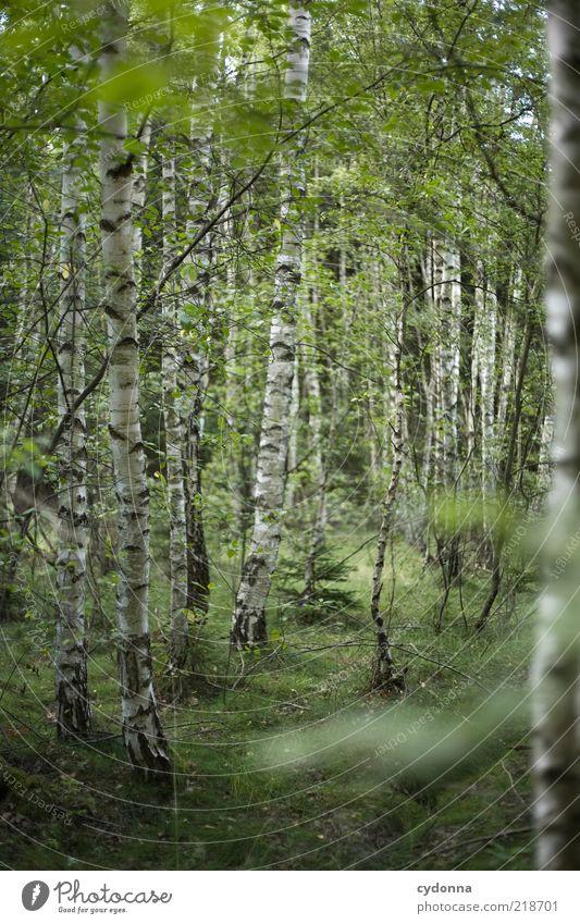 Ich mag Birken Natur grün schön Baum Einsamkeit ruhig Wald Erholung Umwelt Leben träumen Zeit Zufriedenheit einzigartig Idylle geheimnisvoll