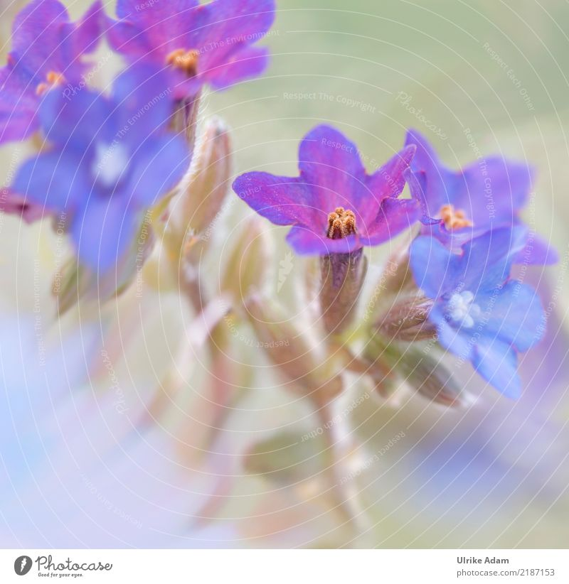 Zarte blaue Blüten Design Leben harmonisch Erholung ruhig Meditation Dekoration & Verzierung Bild Poster Natur Pflanze Frühling Sommer Blume zart Stauden Garten