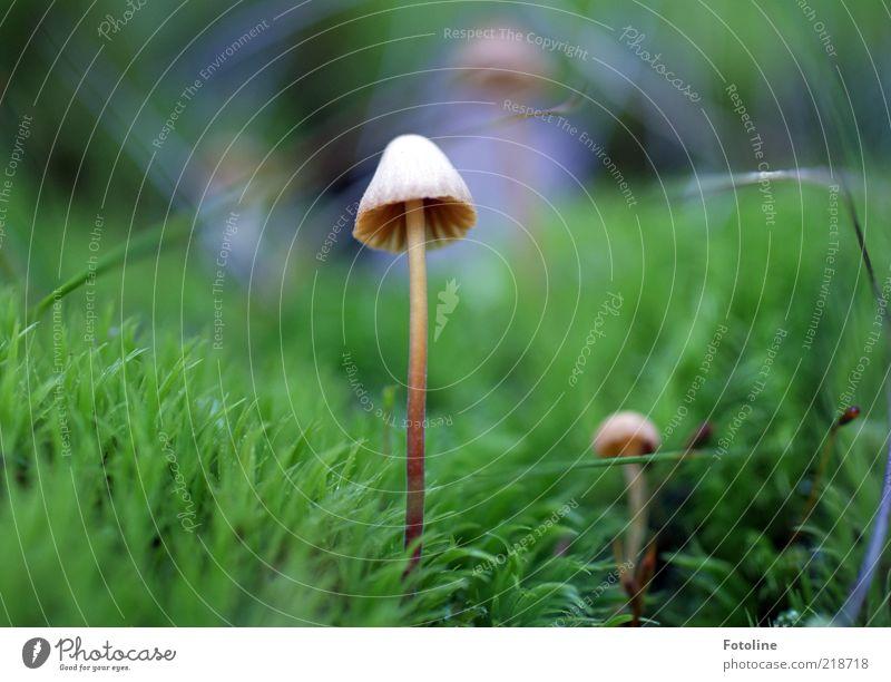 So, mein letzter Pilz dieses Jahr :-) Umwelt Natur Pflanze Gras Moos Wildpflanze Wiese hell natürlich braun grün Pilzhut Lamelle Farbfoto mehrfarbig
