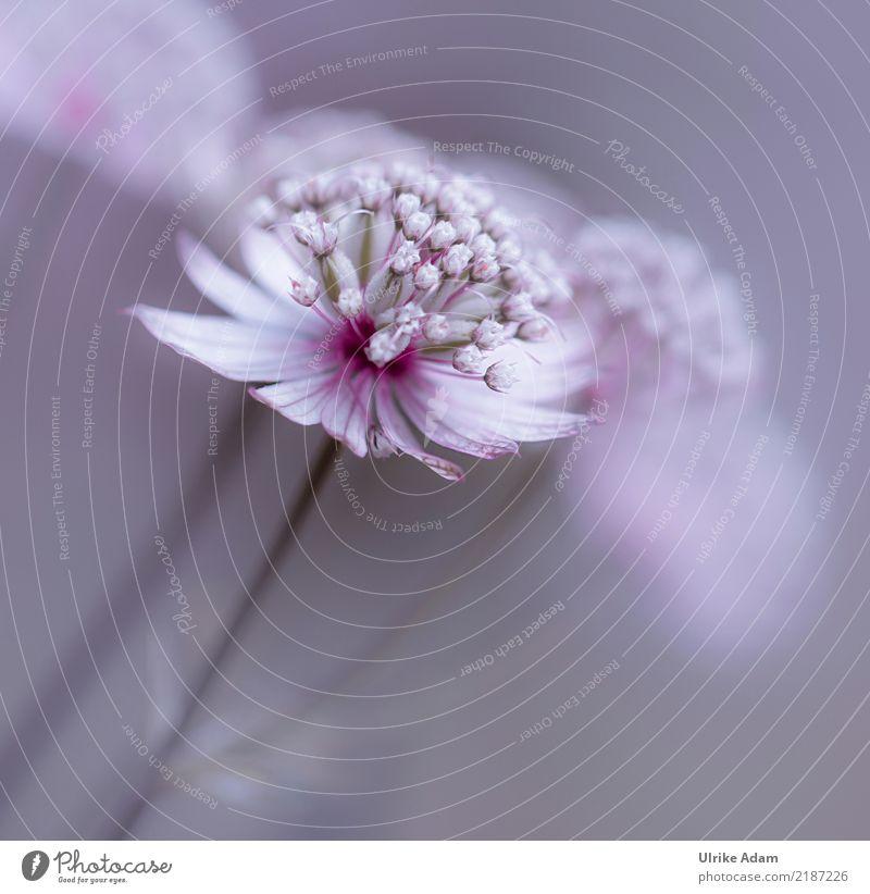 Sterndolde (Astrantia) Natur Pflanze Sommer Blume Erholung ruhig Blüte Innenarchitektur Garten rosa Design Zufriedenheit Park Dekoration & Verzierung weich
