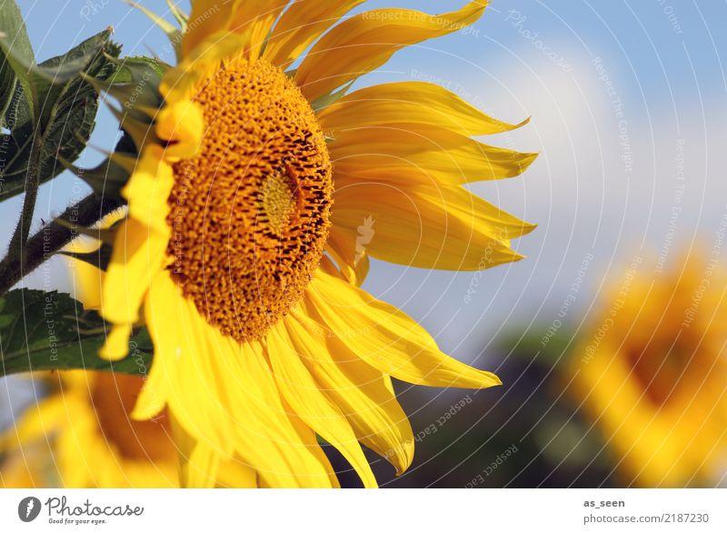 Sonnenblume Natur Pflanze blau Sommer grün Blume Leben gelb Umwelt Blüte Herbst Gesundheit Garten orange Freizeit & Hobby