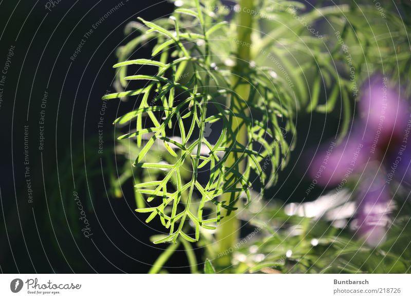 Cosmea-Gefieder Pflanze Blume Blatt Schmuckkörbchen Stauden Blütenpflanze Blütenstauden Lebewesen Zierpflanze fiederblättrig gefiedert Schmuckblume Astern schön