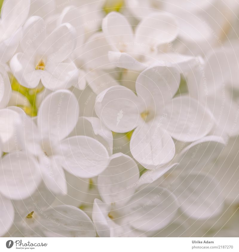 Weißer Flieder Natur Pflanze Sommer weiß Blume Erholung ruhig Leben Blüte Frühling Garten Design Zufriedenheit hell Park elegant