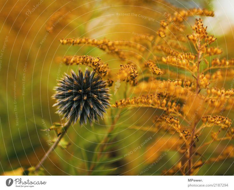 herbstfarben Umwelt Herbst Pflanze Blume Farn Blüte Wildpflanze blau orange stachelig Distel mehrfarbig Farbfoto Menschenleer Schwache Tiefenschärfe