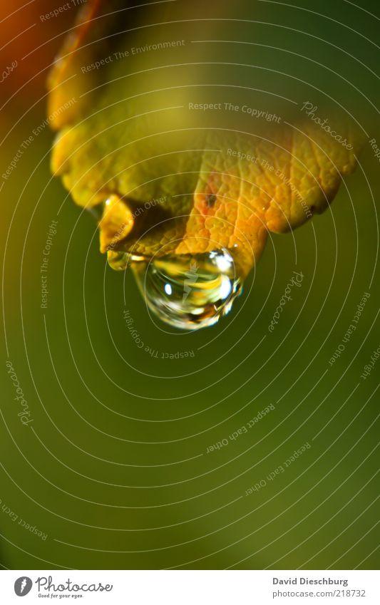 Es hat geregnet! Natur Pflanze Wasser Wassertropfen Herbst Blatt grün Hochformat nass feucht Tau Tropfen glänzend Herbstfärbung Farbfoto Außenaufnahme