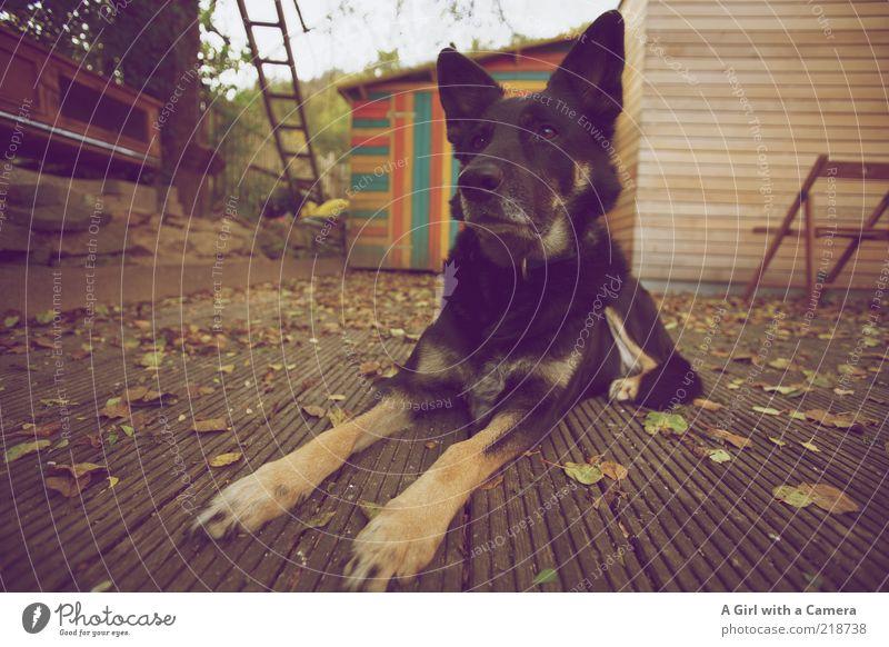 Introducing Megan schwarz Tier Herbst Hund Tiergesicht liegen beobachten hören Wachsamkeit Terrasse Pfote Haustier achtsam bewachen Mischling