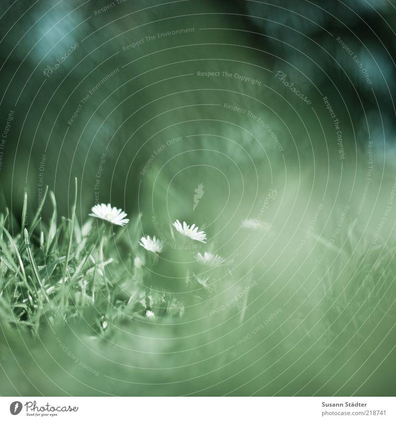 dreaming Natur Blume grün Pflanze Sommer Wiese Gras klein Gänseblümchen diffus Experiment Wiesenblume