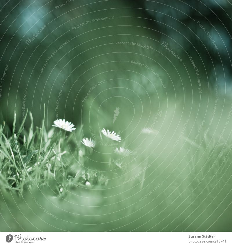dreaming Pflanze Blume Wiese klein Gänseblümchen Wiesenblume Unschärfe diffus Natur Sommer grün Detailaufnahme Experiment Textfreiraum rechts