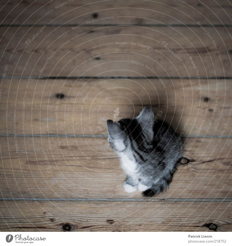 Don´t look back [400] schön Tier dunkel grau Katze Tierjunges sitzen süß natürlich Ohr einzigartig weich beobachten Fell Haustier Holzfußboden