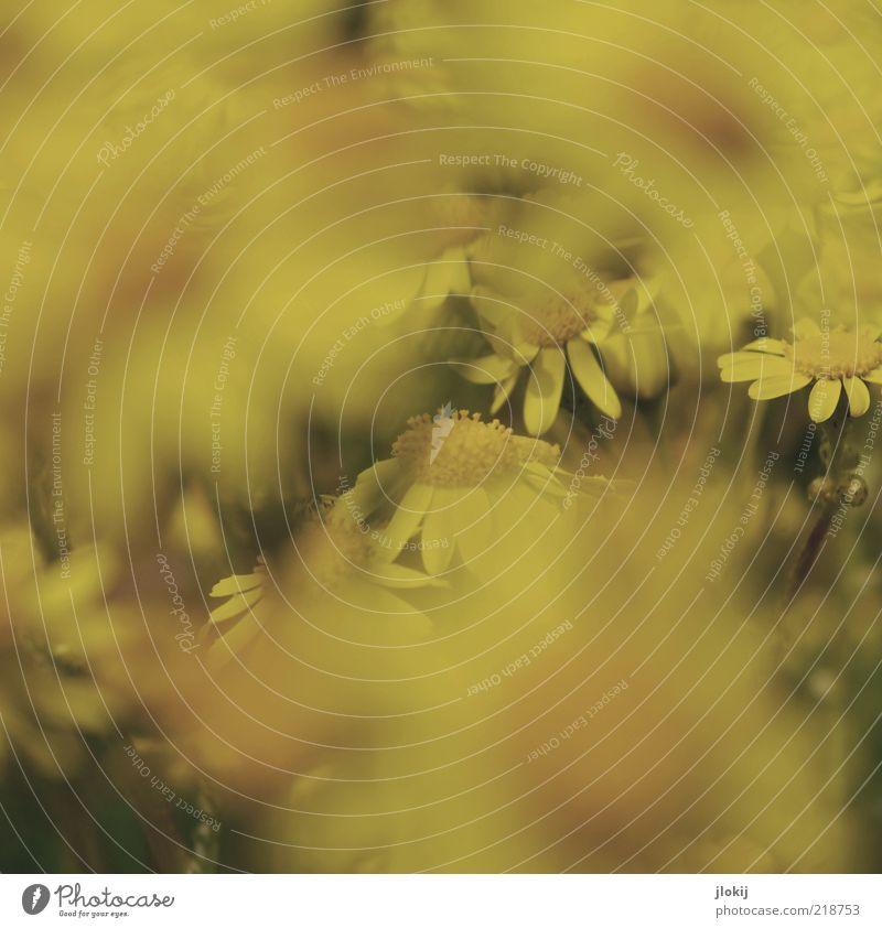 Durch die Blume... Umwelt Natur Pflanze Frühling Sommer Blüte Grünpflanze Wildpflanze ästhetisch nah retro gelb ruhig Wachstum Gedeckte Farben mehrfarbig
