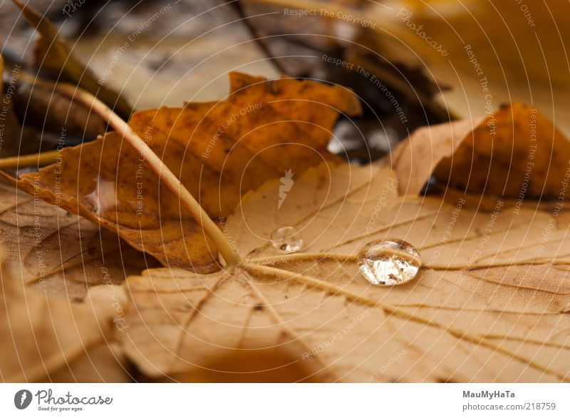 Herbstlaub Natur Pflanze Urelemente Wasser Wassertropfen Wolken Klima Klimawandel Regen Baum Blatt Park alt Coolness authentisch einfach elegant exotisch gut