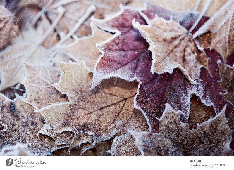 erster Frost Natur schön Winter Blatt kalt Herbst Eis frisch Frost Wandel & Veränderung Vergänglichkeit natürlich Raureif Herbstlaub herbstlich Herbstfärbung