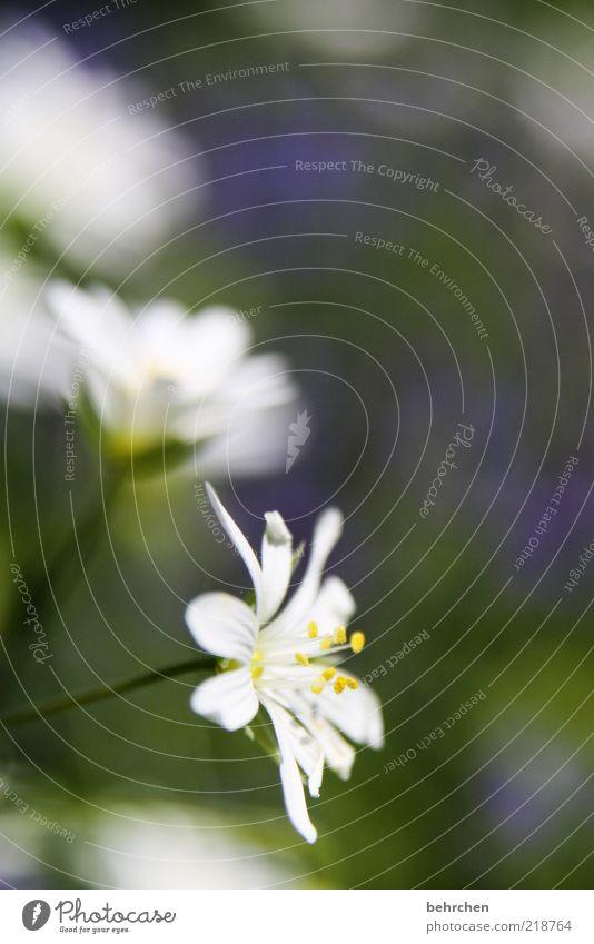 blümi Natur weiß Blume Pflanze Sommer Blüte Frühling Umwelt Wachstum Blühend Pollen Licht Blütenblatt