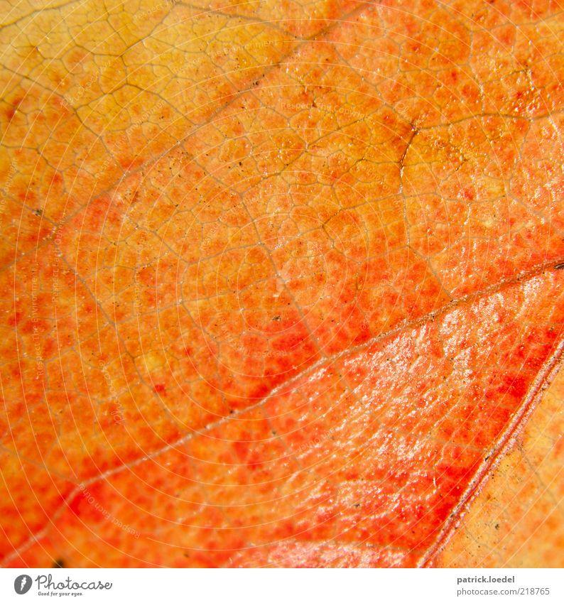 Lederhaut Natur alt Pflanze rot Blatt gelb Herbst orange Umwelt ästhetisch Blattadern herbstlich Herbstfärbung