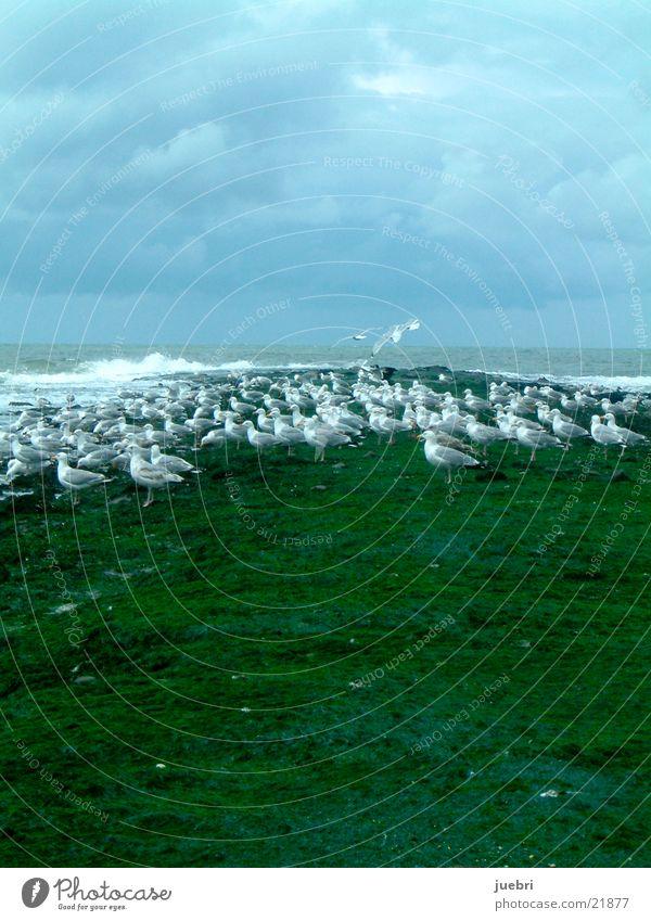 Möwen an der Nordsee grün Meer Niederlande Wasser Himmel