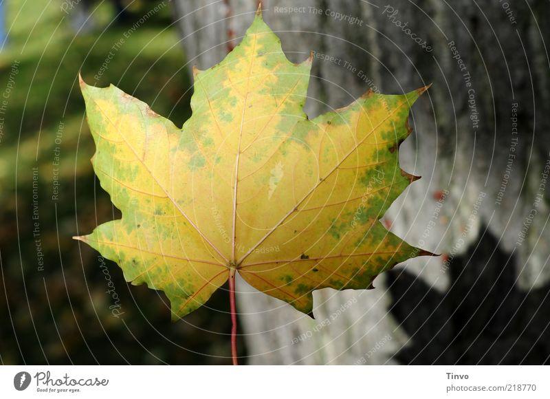 unbeschriebenes Blatt Herbst gelb grün Natur Vergänglichkeit Baumstamm Herbstlaub Ahornblatt Wiese Blattschatten Mitte fallen Schweben Farbfoto Außenaufnahme