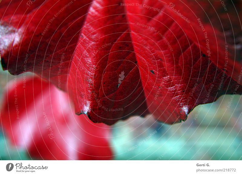 intense Herbst Blatt rot Farbe Herbstlaub herbstlich intensiv knallig Jahreszeiten Maserung kräftig Farbfoto Detailaufnahme Strukturen & Formen Menschenleer Tag