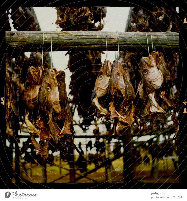 Island Lebensmittel Fisch Ernährung Holz hängen dehydrieren dunkel Ekel gruselig Stimmung Tod Trockenfisch Trockengerüst Fischtrockengestell Farbfoto