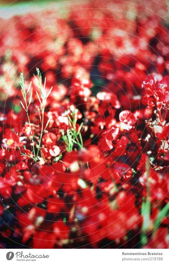 Last Summer Pflanze Blume Blüte Blühend leuchten schön grün rot Farbe Natur analog Sommer Sommerblumen Farbfoto Außenaufnahme Tag Sonnenlicht Unschärfe