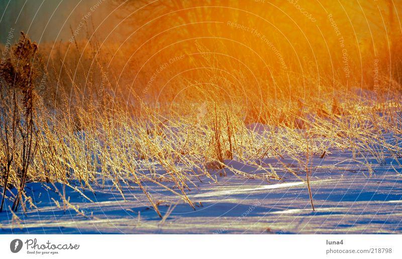 Wintermorgen Schnee Umwelt Natur Landschaft Sonnenaufgang Sonnenuntergang Sonnenlicht Wetter Eis Frost Gras Sträucher Feld kalt gelb gold bizarr Raureif