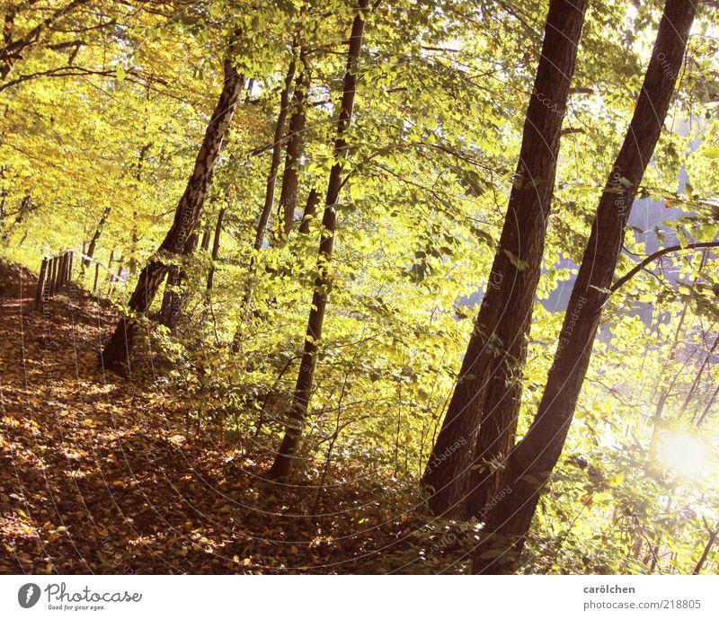 Waldweg Natur Baum grün gelb Herbst Landschaft braun hell Umwelt gold leuchten Fußweg Herbstlaub Buche Lichteinfall