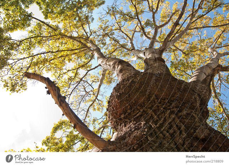 Wucherung Himmel Baum grün Blatt Herbst braun Wachstum Ast Baumstamm Schönes Wetter Baumrinde