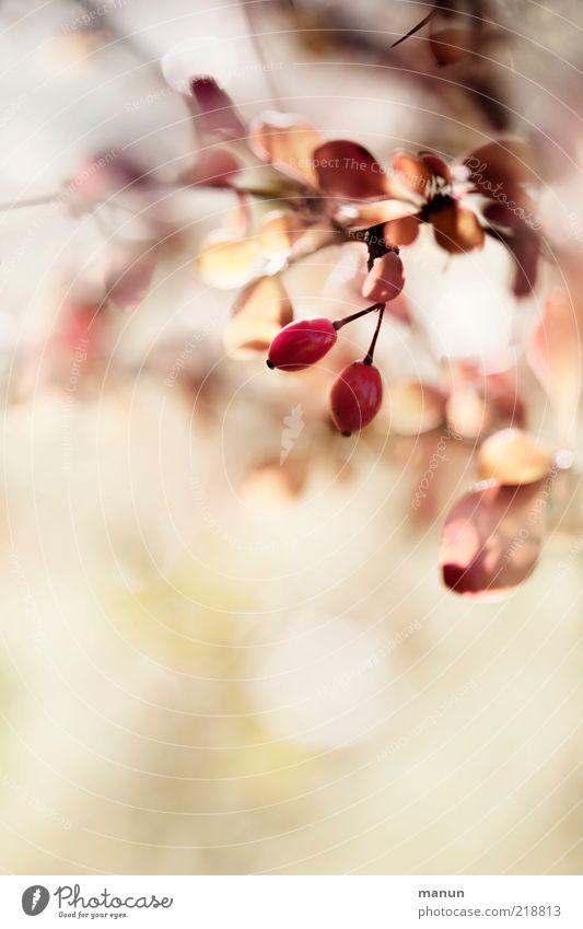 Kotto-Beeren Natur schön Pflanze Blatt Herbst hell rosa Frucht frisch Perspektive Sträucher authentisch fantastisch natürlich Originalität Herbstlaub