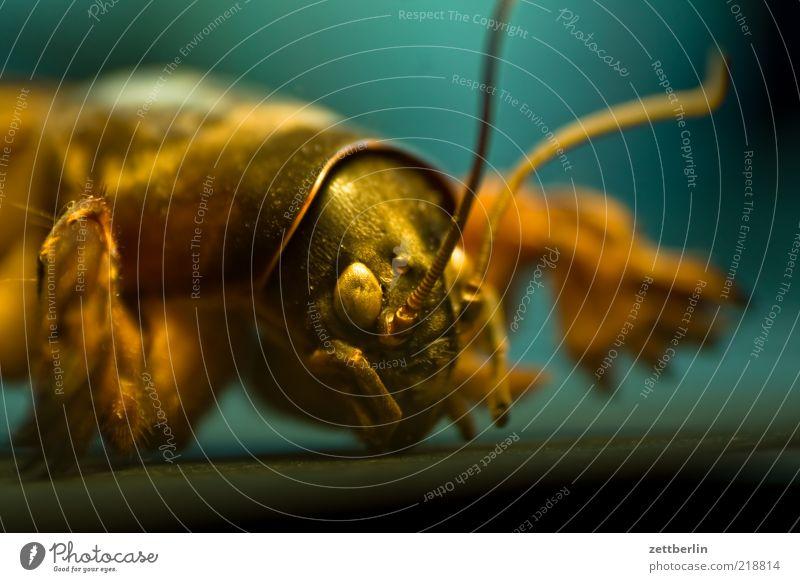Maulwurfsgrille Tier Tiergesicht Krallen 1 Heimchen maulwurfsgrille Farbfoto Innenaufnahme Nahaufnahme Detailaufnahme Makroaufnahme Kunstlicht Licht Schatten