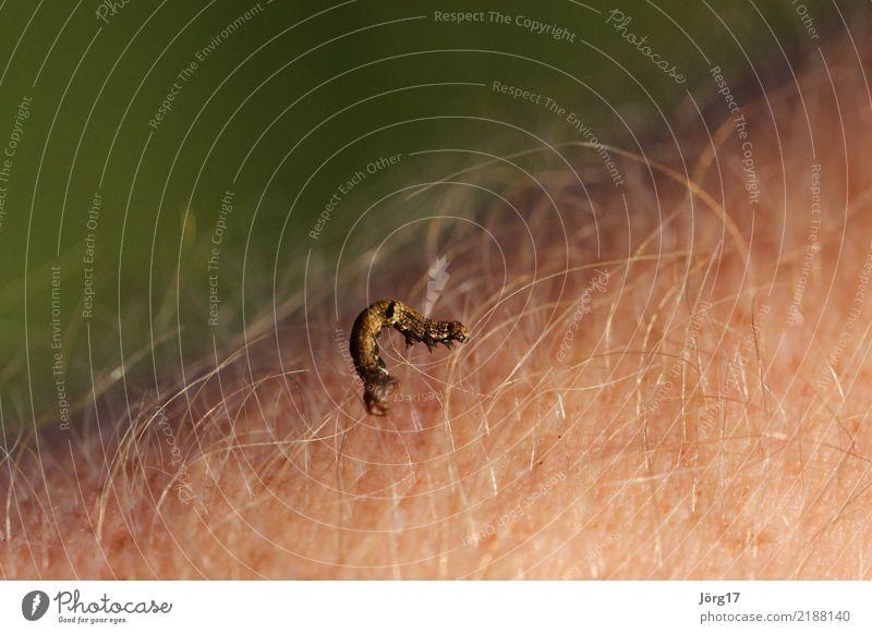 Raupe auf der Haut Sommer Tier wild Wildtier krabbeln Wurm