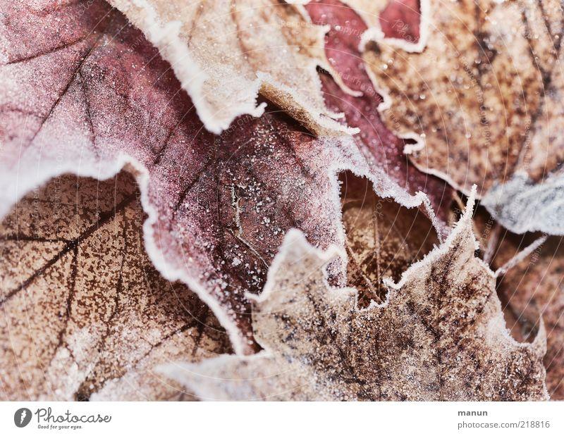 Ahorn gefrostet Natur Herbst Winter Eis Frost Blatt Raureif Herbstlaub herbstlich Herbstfärbung gefroren frisch kalt natürlich Originalität schön Farbfoto