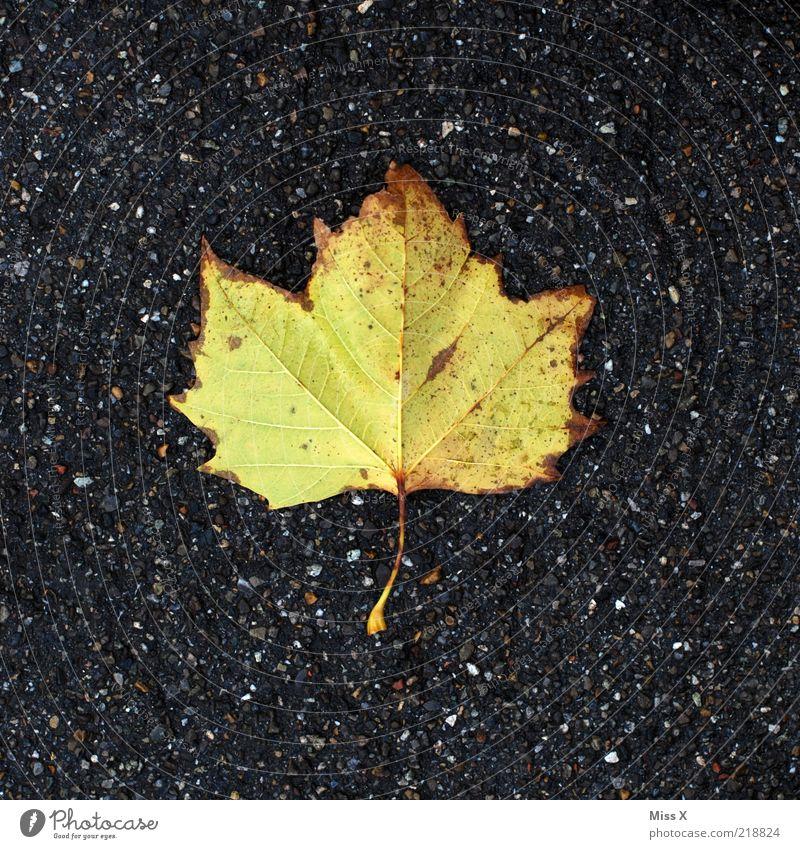 das letzte Blatt gelb Herbst liegen Vergänglichkeit Herbstlaub Platane Herbstfärbung hellgrün