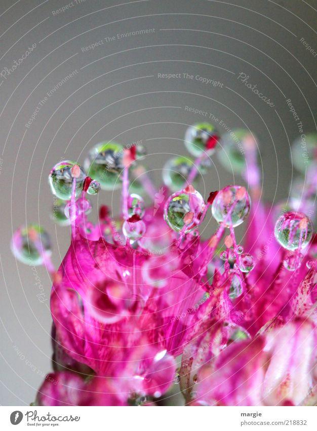 Kostbarkeiten Natur Wasser schön Pflanze Blüte glänzend rosa Umwelt nass Wassertropfen ästhetisch Tropfen natürlich Kugel Blühend leuchten