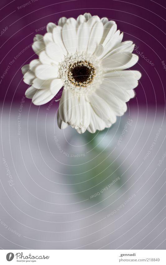 Ordnung muss sein schön weiß Blume Pflanze Blüte hell rund Kitsch violett Sauberkeit Stengel Blühend trendy Klischee Blütenblatt