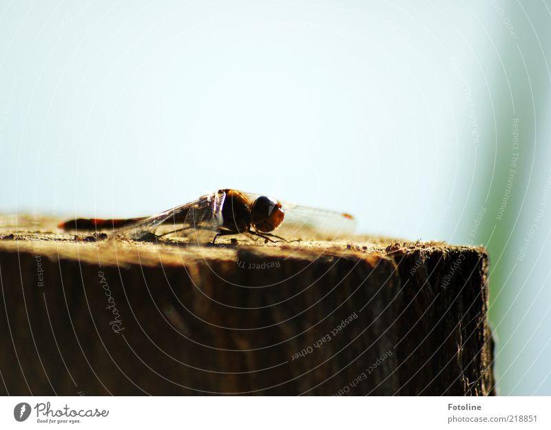 Sonnenbad Umwelt Natur Tier Urelemente Luft Himmel Wolkenloser Himmel Sommer Wildtier Flügel hell nah natürlich Insekt Libelle Farbfoto mehrfarbig Außenaufnahme