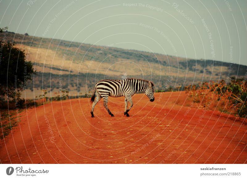 Zebrastreifen. weiß rot schwarz Tier Bewegung Wärme Sand Landschaft gehen elegant laufen frei ästhetisch Afrika natürlich Fell