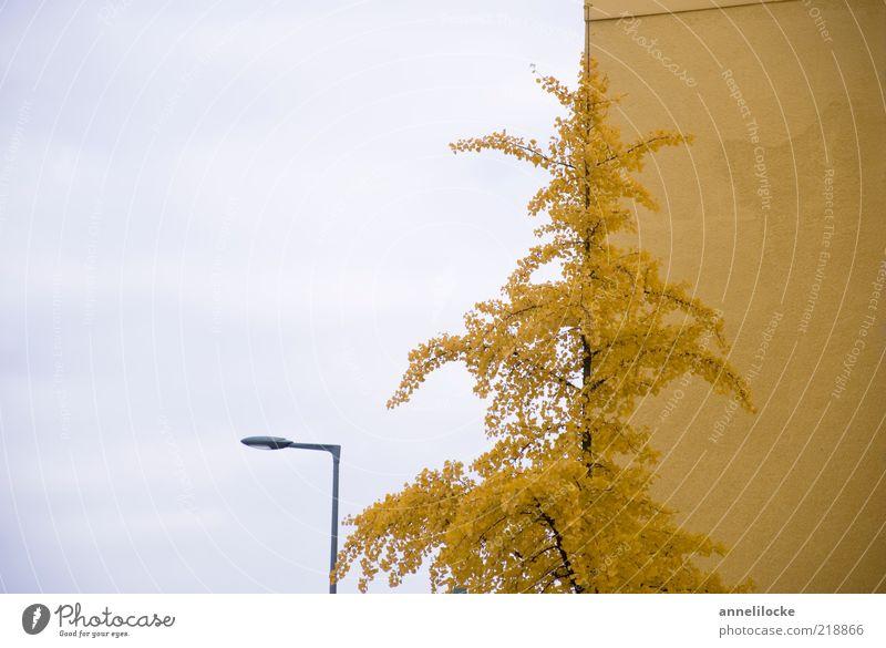 Goldener Herbst-Schnitt Umwelt Natur Pflanze Himmel Baum Blatt Ginkgo Haus Mauer Wand Fassade gelb Vergänglichkeit Straßenbeleuchtung Goldener Schnitt Farbfoto
