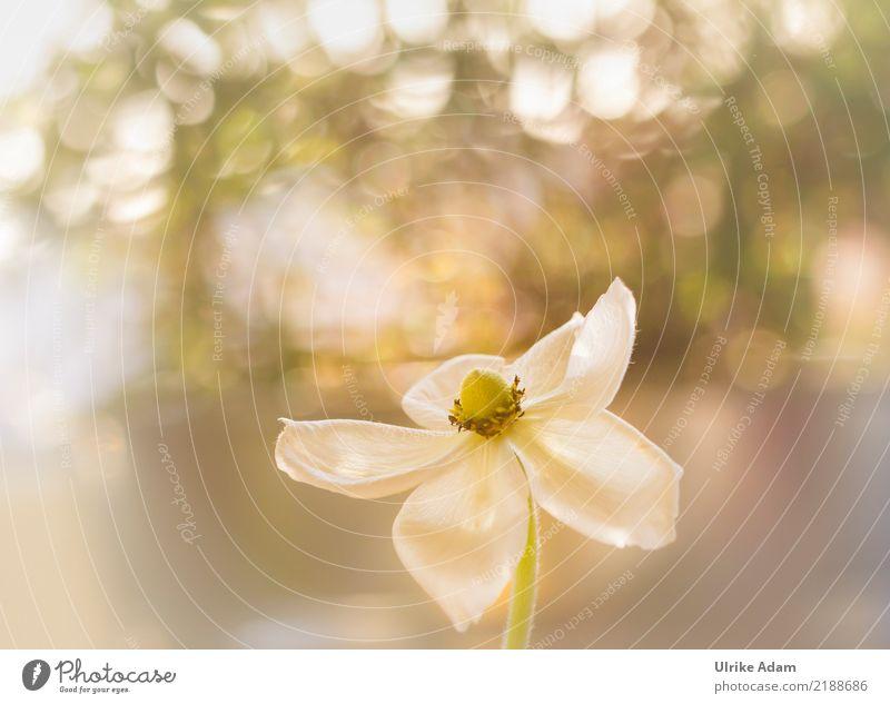 Anemone im Licht Natur Pflanze schön weiß Blume Leben Blüte Herbst Frühling Garten Park leuchten glänzend Blühend chaotisch Spirale