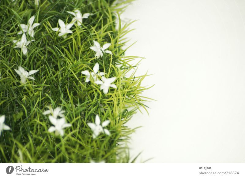 Mother Nature |That green old Slut Pflanze grün weiß Sommer Blume kalt Wiese Gras Frühling Blüte natürlich Wachstum Blühend Neigung Rasen