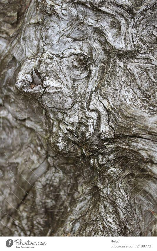 Unikum Umwelt Natur Pflanze Herbst Baum Wildpflanze Baumwurzel Naturschutzgebiet Lotharpfad Holz authentisch außergewöhnlich einzigartig natürlich braun grau