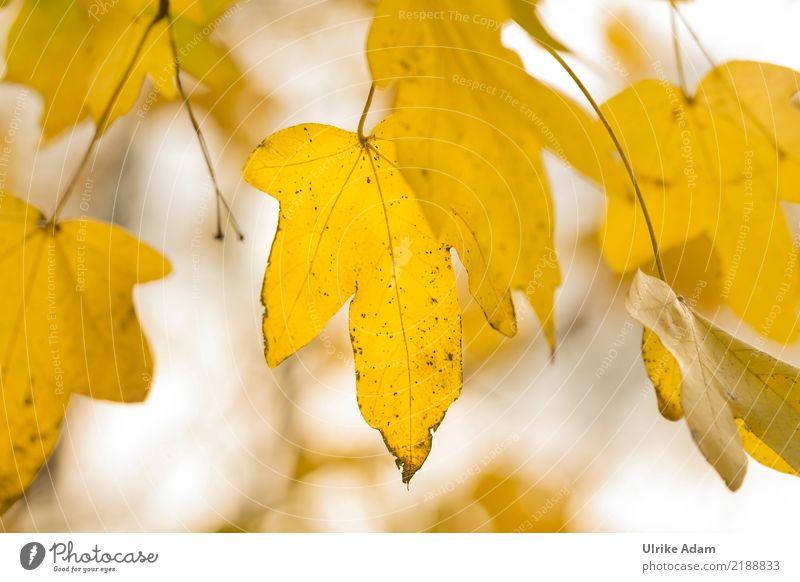 Ahornblätter im Herbst Natur Pflanze Baum Blatt Ahornblatt Ahornzweig Blattadern Herbstlaub Garten Park Wald glänzend leuchten natürlich gelb gold Sehnsucht