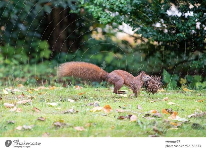Sammelleidenschaft Natur grün Tier Umwelt Herbst natürlich braun wild Park Wildtier laufen Sammlung tierisch Säugetier Nagetiere Friedhof