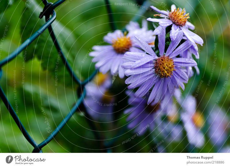 vor dem zaun Natur Pflanze Sommer Blume Blüte Grünpflanze Garten Menschenleer Zaun Gitter Gitternetz Blühend blau gelb grün violett Farbfoto mehrfarbig